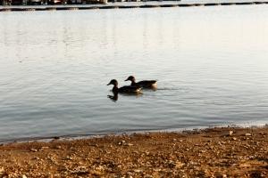 Ducks 1 by Jenna Comfort