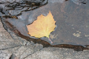 Leaf on Water - Jenna Comfort